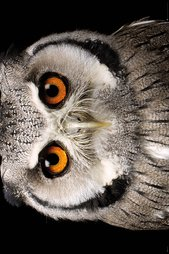 Ph0548-owl-face