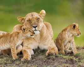 MP1710-LIONESS-and-cubs