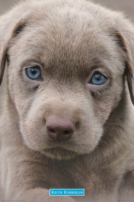 GN0848 KEITH KIMBERLIN puppies blue eyes