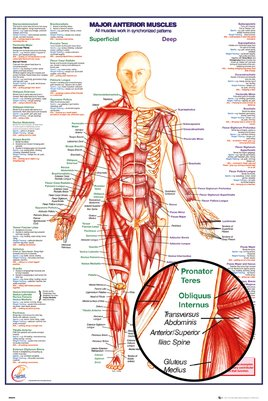 Gn0849-human-body-major-anterior-muscles-details