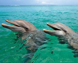 MP1701 Dolphins Laughing