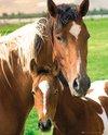 MP1329-HORSES-mare-&-foal.jpg