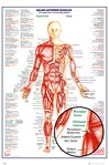 GN0849-HUMAN-BODY-major-anterior-muscles-DETAILS.jpg