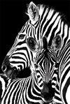 Zebra Maxi Posters