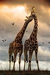 Giraffes - Kissing