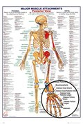 Gn0851-human-body-major-muscle-attachments-posterior-details