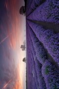 Ph0547-lavender-field-dawn